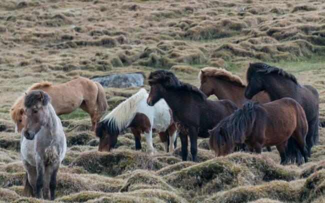 Pferde auf Island ©Gipfelfieber Studio