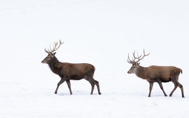 Hirsche im Winter ©Gipfelfieber Studio